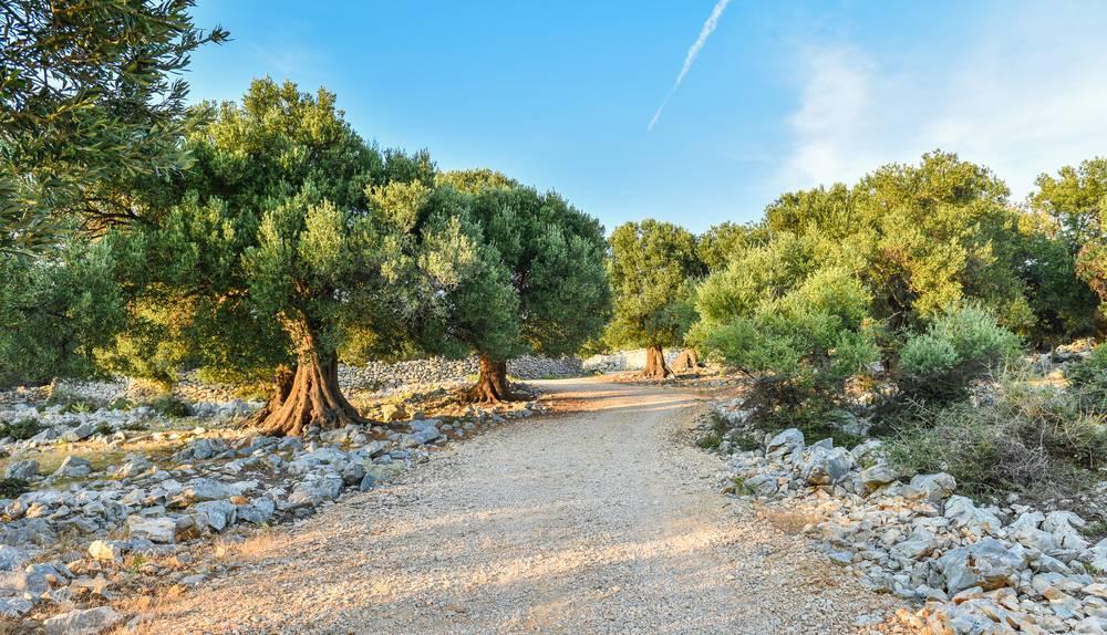https://uwalk.ie/wp-content/uploads/2019/01/Andalucia-Walking-Tour-olive-tree.jpg